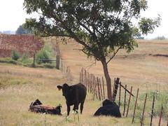 Cows (ptcruiser4dogs) Tags: windfarm turbine windturbine energy farmcountry farmland oklahoma deercreek cashion country bfe dirtroads