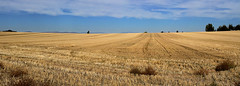 Harvested (arbyreed) Tags: arbyreed straw stubble strawstubble wheat wheatfield grain harvested harvestedwheatfield golden madisoncountyidaho rexburg wideaspectratio