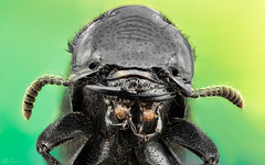 Beetle (Can Tuner) Tags: wwwcantuncerorg can cantuner canon6d cantuncer canon closer macro macros macrophotography micro bcek beetle izmir ikea insects mikro light sting