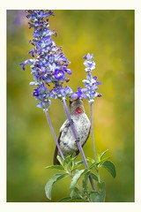 Why would you fly, if you dont have too (Krasne oci) Tags: hummingbird hummer bird birdfeeding flower flowers flickr evabartos nature closeup garden photographicart