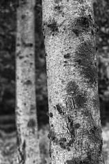 bark. (stevenbley) Tags: tree forest trees blackandwhite monochrome