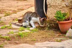 DSC_0005 (mariangelalobianco) Tags: gatto gatta bere sete dissetarsi pozzanghera randagio