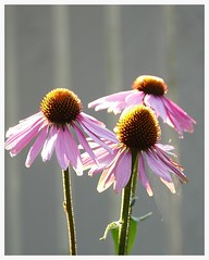 Echinacea Purpurea (rebeccadelaney45) Tags: echinacea purpurea coneflower purple bronze flower head