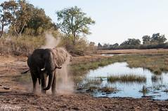 DT-139 (Photography by Brian Lauer) Tags: botswana africa safari safaris wildlife travel nikonphotography nikon lion elephant hippo fisheagle saddlebilledstork piedkingfisher lilacbreastedroller wilddog