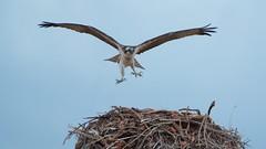 Osprey hovering above nest (jimbobphoto) Tags: bird nest raptor claws montana
