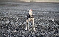 (orbit9000) Tags: aberystwyth wales dog hund strand beach