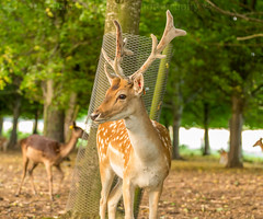 Deer in the park. (Dubspotter2015) Tags: fallow deer bambi wildlife antlers tagged spotted trees park dublin animals beautiful canon wild sunset
