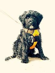 Gabby's Beach dbut (crisp4dogs) Tags: pwd gabby crisp4dogs portuguesewaterdog beach water northcarolina