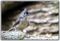 Tufted Titmouse (Dolan Trout) Tags: lanark tuftedtitmouse birds alabamanaturecenter