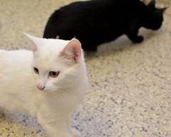 Snowy-Cole-DSC_0044 (Ali Crehan) Tags: shelter cat kitten september 2016