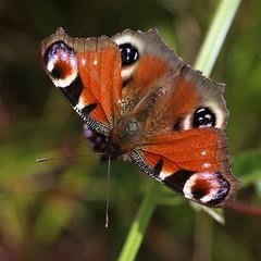 European peacock (liisatuulia) Tags: neitoperhonen porkkala butterfly