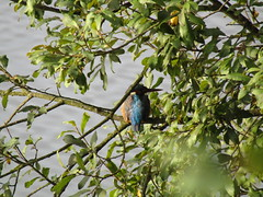 Kingfisher on Bryn Flash this morning! (stevencarruthers93) Tags: greenheart