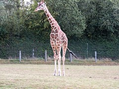 Zoo de Cerza (Brnys) Tags: zoo cerza zoodecerza animal animaux lisieux normandie calvados bassenormandie girafe giraffe