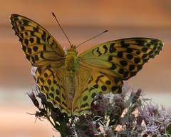 greenish brown butterfly (kexi) Tags: brown dots macro greenish butterfly pink flower bokeh samsung wb690 poland polska gniazdowo july 2015 instantfave pastel