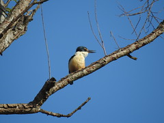Sacred Kingfisher (Kotare) (njohn209) Tags: p900 nikon nz birds