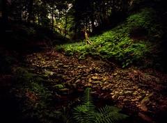 fern filled clearing (Jamie  Sproates) Tags: wwwjamiesproatescom stanhope shittlehope burn weardale stream ravine hdr panorama 5d mk3