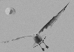 Ring-billed gull (Firstlookimages) Tags: nature natureportrait abstractnature birds seagull ringbilledgull art artistic artisticmanipulation digitalmanipulation digitalart detail digitalphotography flyingbirds bw blackandwhite blackwhite textured hss