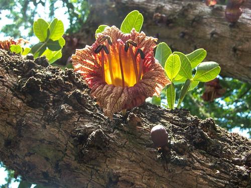 Flor de Cuastecomate