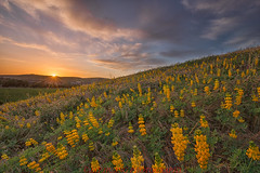 Yellow Lupine at Backyard (Jaykhuang) Tags: sunset yellowlupine luine wildflowers flowersfield hills livermore bayarea eastbay california jayhuangphotography springtime sunburst