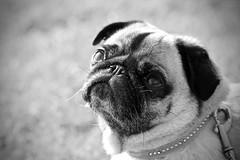 test (Koboldmops) Tags: mops pug dog portrait black white
