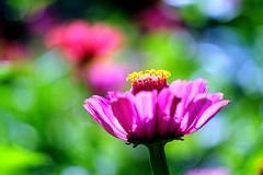 Testshooting (Andreas669) Tags: blumen flowers garden garten rosa helios44258mmf2 helios 442 58mm f2 vintage vintagelens lens bokeh macro bloom blte catchy