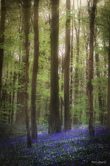 A magical time in the forest (melsworldbe) Tags: tree blue green forest sun hyacinth bluebell