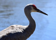 Sandhill Crane (careth@2012) Tags: