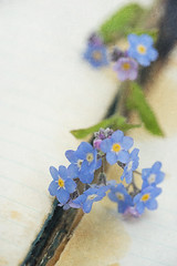 Monday blues (borealnz) Tags: forgetmenot blue book old vintage flower spring pretty weed
