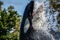 Belle Puissance (orcamel30) Tags: orca orque epaulard cetace dolphin dauphin marineland antibes biot nice spectacle shows inouk power puissance eau water behavio comportement nikon d7100 55300 animal animaux