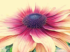 Fading! (springblossom3) Tags: oxford botanical gardens nature flower plant macro tourists students tourism garden