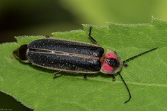 Firefly (Fred Roe) Tags: lca81a5006 nikond810 nikonafsmicronikkor105mmf28 nature wildlife insect beetle firefly macro peacevalleypark