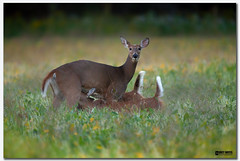 Mother and fawns (Corey Hayes) Tags: deer feeding nature milking 3 mother babies young grass evening