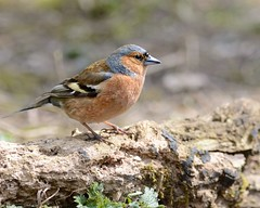Chaffinch looking for seed (Rivertay07) Tags: rivertay leavalley leevalley coelebs d4 copyrightprotected fishersgreen richardstead chaffimchfringilla