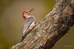 Male Red-bellied Woodpecker [Explored] (CMich5) Tags: bird birds fauna illinois woodpecker nikon wildlife redbelliedwoodpecker lakecounty d600
