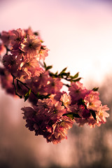Spring Sunrise [Explored] (mhitchner1) Tags: pink light sun plant flower sunrise cherry dawn spring warm blossom mark pastel iii 5d pedals f4l 25105