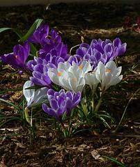 S O S ! (+David+) Tags: crocuses whiteflowers signofspring stjohnsmeadows