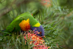 dinner time - rainbow lorikeet (Jessie Rose Photography) Tags: bird rainbow native sydney australian lorikeet parrot australia rainbowlorikeet dinnertime trichoglossushaematodus