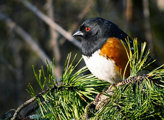 Spotted Towhee (TOTORORO.RORO) Tags: park camera bridge portrait canada bird nature dof bc zoom bokeh britishcolumbia sony cybershot super richmond marsh alpha sportsaction naturepark carlzeiss spottedtowhee pipilomaculatus greatervancouver variosonnar mirrorless hx300 dschx300 dschx300b