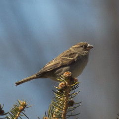 house-finch-f-IMG_2507-crop (mandovinnie) Tags: