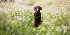 Dreaming of Treats (anthonyhelton.com) Tags: canon lab mark chocolate iii 5d mansbestfriend samantha 70200mmf28markii