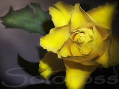 Yellow (soloross) Tags: light italy flower color verde primavera home leaves rose yellow foglie photoshop dark photography casa spring italian italia colore shadows rosa clarity ombre giallo learning fotografia sole fiore luce scuro sfondo petalo intenso fotografare sfocatura intensit chiarezza apprendere soloross