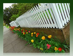 Tiptoed softly past tipsy tulips, fence (ohkayeor) Tags: flickr 6ws tulips lounge walkway dutchangle ribbet odc1 fencefriday