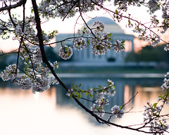 Blossom-filled Memorial (Tony DeFilippo) Tags: flowers nature washingtondc dc washington cherryblossoms jeffersonmemorial dcmonument