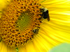 Bee Friends ;-D (lucidcats) Tags: friends light orange plant flower green beautiful yellow vancouver bug washington state blossom bee bloom vancouverwa thebestyellow
