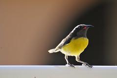 Bananaquit (yellowbelly) Coereba Flaveola sparrow (Crown exclusive) Tags: bird st yellow pose sparrow stmaarten maarten bananaquit coereba flaveola sucrier yellowbelly
