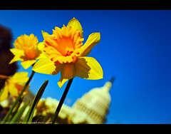Springtime at the U.S. Capitol - Washington, DC (Sam Antonio Photography) Tags: city flowers blue usa cloud sun flower building floral weather yellow horizontal closeup architecture outdoors photography washingtondc day unitedstates politics authority stock sunny nopeople flowerbed growth congress national dome government arrival multicolored patriotism tilt capitolhill clearsky springtime gettyimages houseofrepresentatives capitolbuilding federalbuilding uscapitolbuilding formalgarden landscaped governmentbuilding capitalcities traveldestinations colorimage famousplace unitedstatescongress americanculture buildingexterior internationallandmark lowangleview focusonforeground canoneos5dmarkii samantonio canon24105f4lens samantoniophotography washingtondcphotolocations
