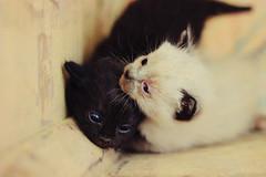 Together (italida.com) Tags: cats cute cat puppy sweet together newborn kitties neko insieme gatto gatti dolci cuccioli gattini appenanati