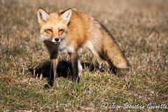 GUEJ_2013-04-17_05-46-43.jpg (jsguenette) Tags: canada animal mammal montral qubec mammifre canidae renardroux