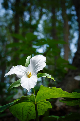 Trillium Flower in Full Bloom at Green Hill Park