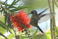 colibri serrano gargantiazul (SiempreVerde FotoGalería) Tags: venezuela miranda serrano colibri adelomyia melanogenys gargantiazul